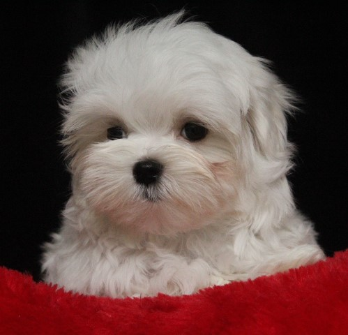 Available Maltese Puppies Angel Lite Maltese